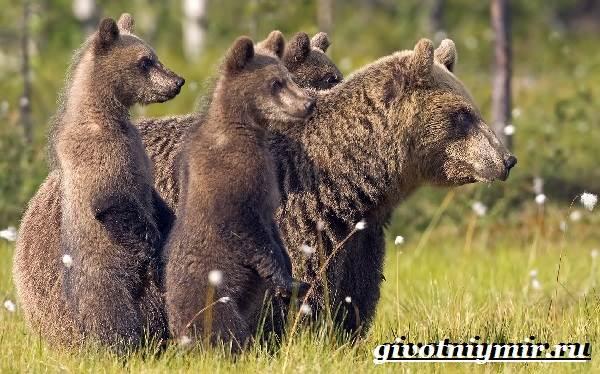 Бурый-медведь-Образ-жизни-и-среда-обитания-бурого-медведя-2-1