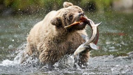 Бурый медведь. Образ жизни и среда обитания бурого медведя