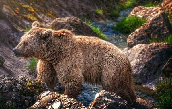 Бурый-медведь-Образ-жизни-и-среда-обитания-бурого-медведя-21