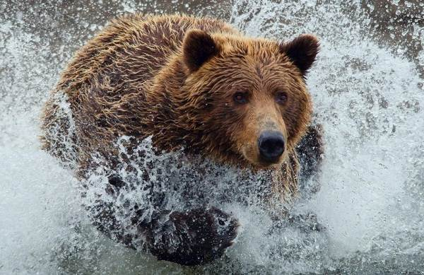 Бурый-медведь-Образ-жизни-и-среда-обитания-бурого-медведя-22