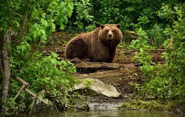 Бурый-медведь-Образ-жизни-и-среда-обитания-бурого-медведя-24