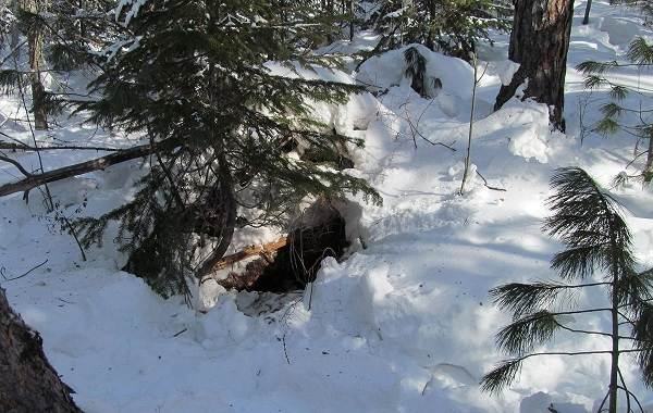 Бурый-медведь-Образ-жизни-и-среда-обитания-бурого-медведя-25