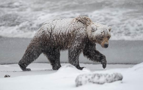 Бурый-медведь-Образ-жизни-и-среда-обитания-бурого-медведя-26