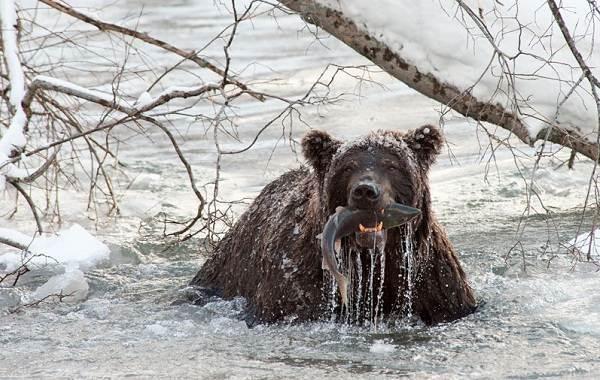 Бурый-медведь-Образ-жизни-и-среда-обитания-бурого-медведя-27