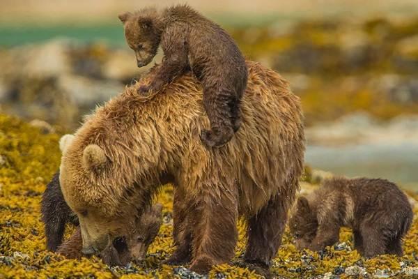 Бурый-медведь-Образ-жизни-и-среда-обитания-бурого-медведя-28