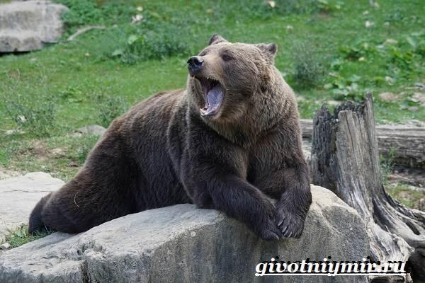 Бурый-медведь-Образ-жизни-и-среда-обитания-бурого-медведя-3