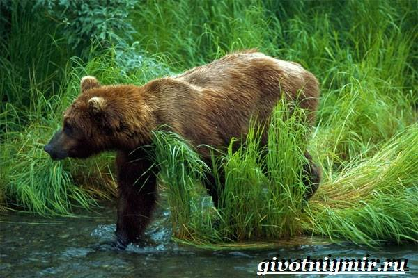 Бурый-медведь-Образ-жизни-и-среда-обитания-бурого-медведя-8