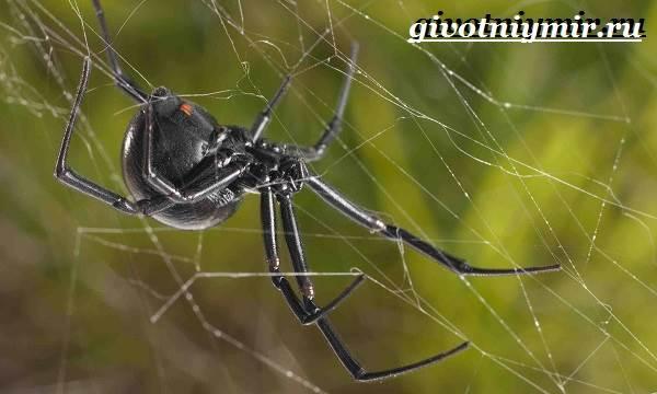 Черная-вдова-паук-Образ-жизни-и-среда-обитания-черной-вдовы-2