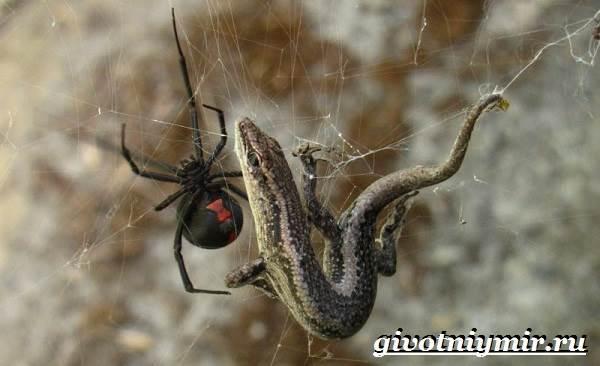 Черная-вдова-паук-Образ-жизни-и-среда-обитания-черной-вдовы-5