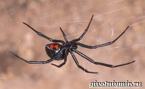Черная-вдова-паук-Образ-жизни-и-среда-обитания-черной-вдовы-7