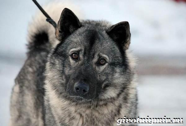 Элкхаунд-собака-Описание-особенности-уход-и-цена-элкхаунда-1