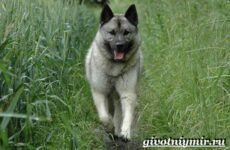 Элкхаунд собака. Описание, особенности, уход и цена элкхаунда