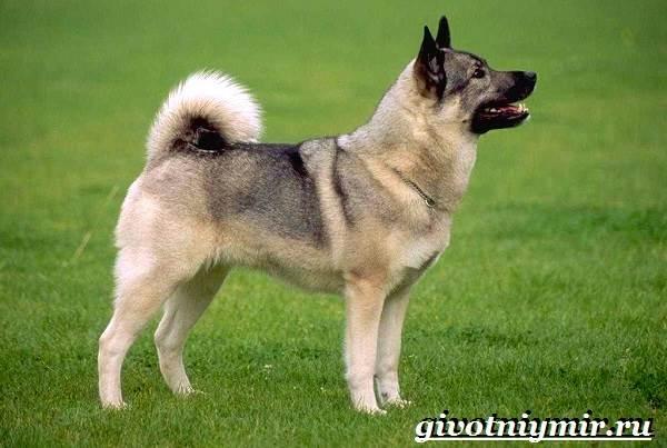 Элкхаунд-собака-Описание-особенности-уход-и-цена-элкхаунда-5