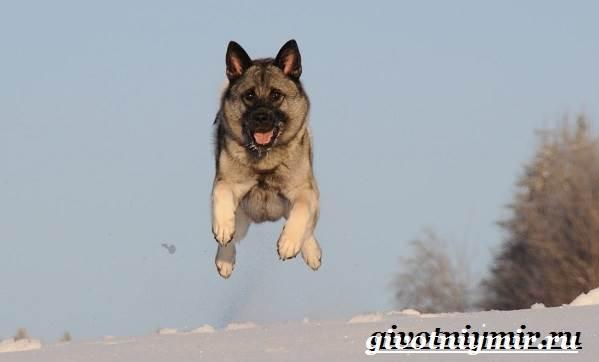 Элкхаунд-собака-Описание-особенности-уход-и-цена-элкхаунда-7