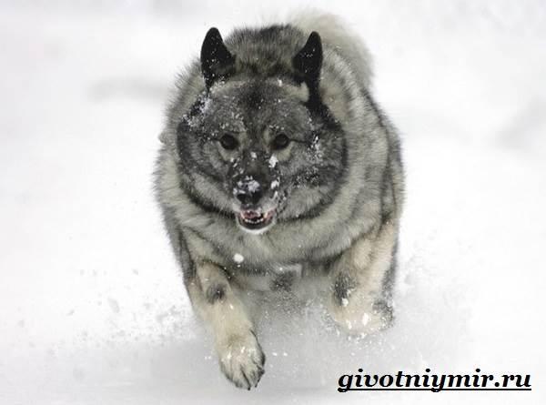 Элкхаунд-собака-Описание-особенности-уход-и-цена-элкхаунда-9