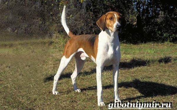Фоксхаунд-собака-Описание-особенности-уход-и-цена-фоксхаунда-1