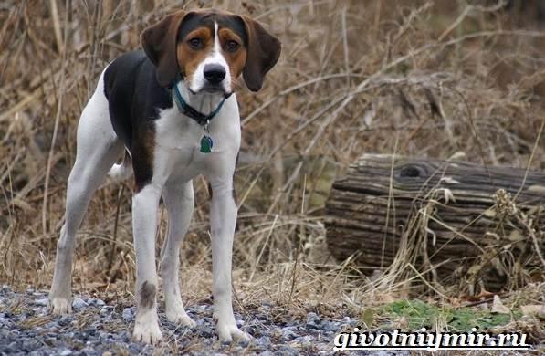 Фоксхаунд-собака-Описание-особенности-уход-и-цена-фоксхаунда-10