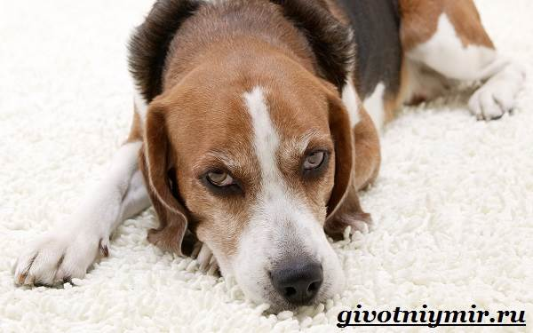 Фоксхаунд-собака-Описание-особенности-уход-и-цена-фоксхаунда-11