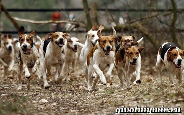 Фоксхаунд-собака-Описание-особенности-уход-и-цена-фоксхаунда-12