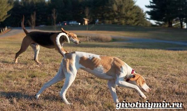 Фоксхаунд-собака-Описание-особенности-уход-и-цена-фоксхаунда-3