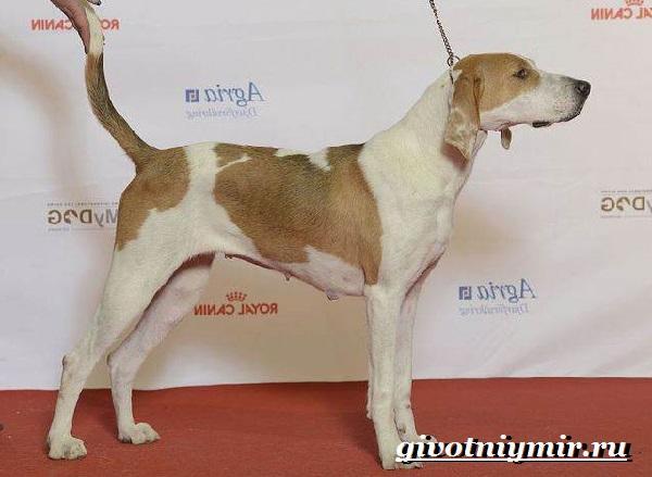 Фоксхаунд-собака-Описание-особенности-уход-и-цена-фоксхаунда-4