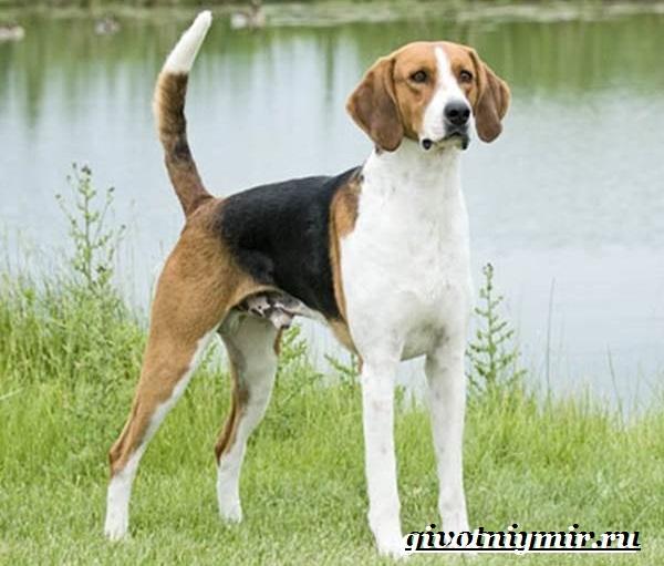 Фоксхаунд-собака-Описание-особенности-уход-и-цена-фоксхаунда-5