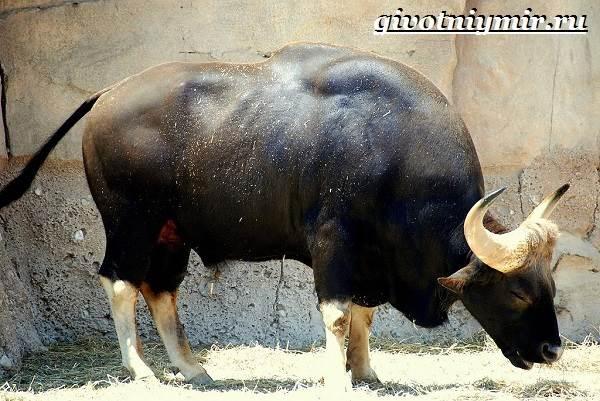 Гаур-бык-Образ-жизни-и-среда-обитания-гаура-3