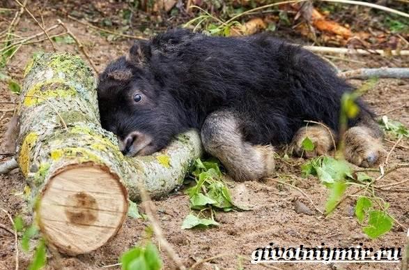 Гаур-бык-Образ-жизни-и-среда-обитания-гаура-7