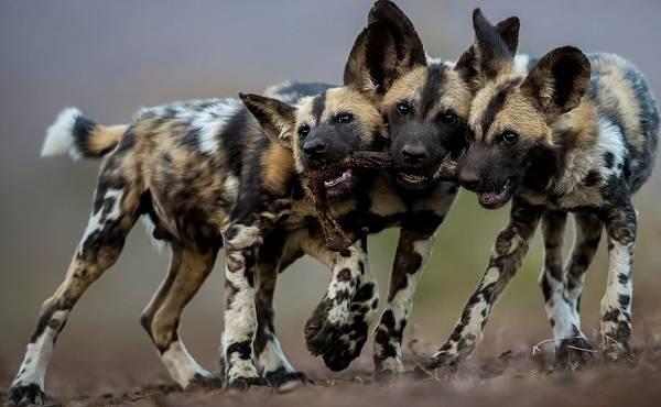 Гиеновая-собака-Образ-жизни-и-среда-обитания-гиеновой-собаки-2-1