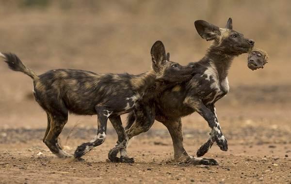Гиеновая-собака-Образ-жизни-и-среда-обитания-гиеновой-собаки-3-1