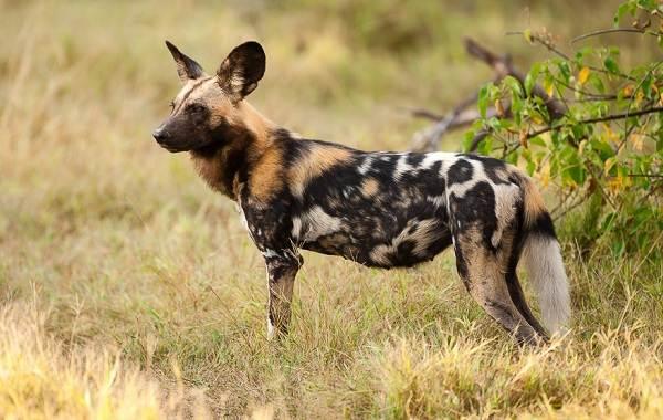 Гиеновая-собака-Образ-жизни-и-среда-обитания-гиеновой-собаки-4-1