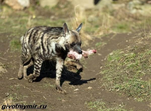 Гиеновая-собака-Образ-жизни-и-среда-обитания-гиеновой-собаки-4