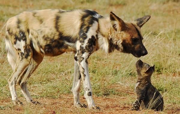 Гиеновая-собака-Образ-жизни-и-среда-обитания-гиеновой-собаки-5-1
