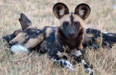 Гиеновая собака. Образ жизни и среда обитания гиеновой собаки