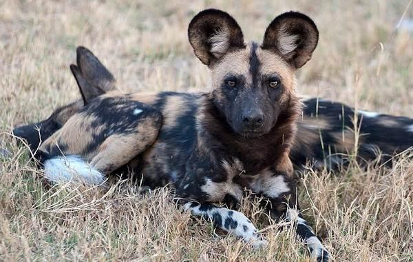 Гиеновая-собака-Образ-жизни-и-среда-обитания-гиеновой-собаки-6