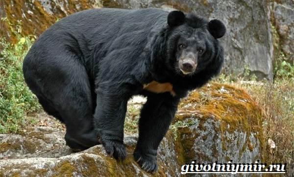 Гималайский-медведь-Образ-жизни-и-среда-обитания-гималайского-медведя-1