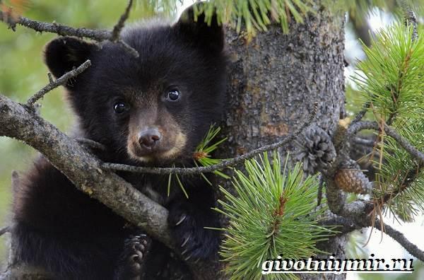Гималайский-медведь-Образ-жизни-и-среда-обитания-гималайского-медведя-10