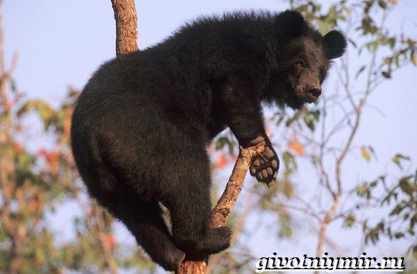Гималайский-медведь-Образ-жизни-и-среда-обитания-гималайского-медведя-11