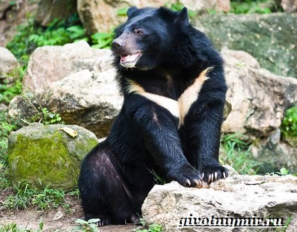 Гималайский-медведь-Образ-жизни-и-среда-обитания-гималайского-медведя-2