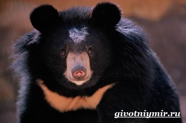 Гималайский-медведь-Образ-жизни-и-среда-обитания-гималайского-медведя-4