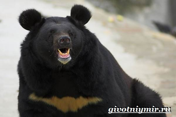 Гималайский-медведь-Образ-жизни-и-среда-обитания-гималайского-медведя-5