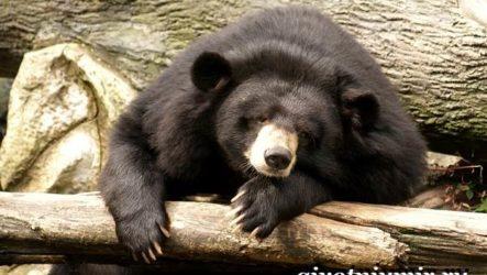 Гималайский медведь. Образ жизни и среда обитания гималайского медведя