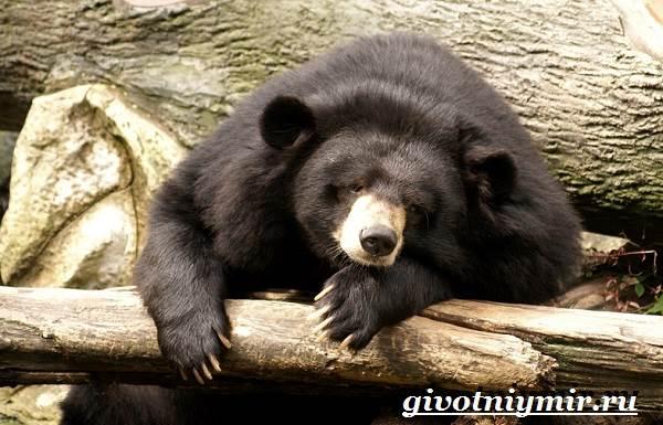Гималайский-медведь-Образ-жизни-и-среда-обитания-гималайского-медведя-6