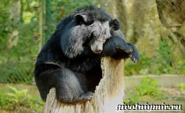 Гималайский-медведь-Образ-жизни-и-среда-обитания-гималайского-медведя-7