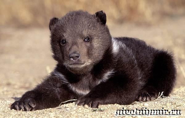 Гималайский-медведь-Образ-жизни-и-среда-обитания-гималайского-медведя-9