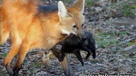 Гривистый волк. Образ жизни и среда обитания гривистого волка