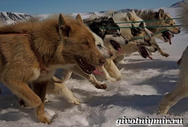 Инуит-собака-Описание-особенности-уход-и-цена-инуита-4