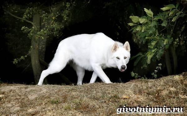 Инуит-собака-Описание-особенности-уход-и-цена-инуита-5