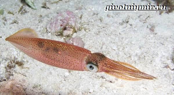 Кальмар-моллюск-Образ-жизни-и-среда-обитания-кальмара-4