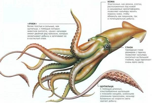 Кальмар-моллюск-Образ-жизни-и-среда-обитания-кальмара-7